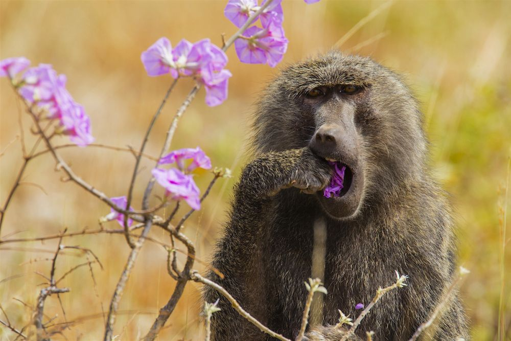 Baboons in full morning glory: Samburu, Kenya