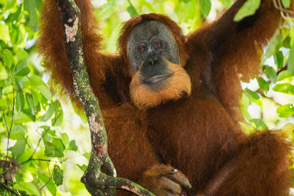 Male Sumatran orangutan sitting in tree