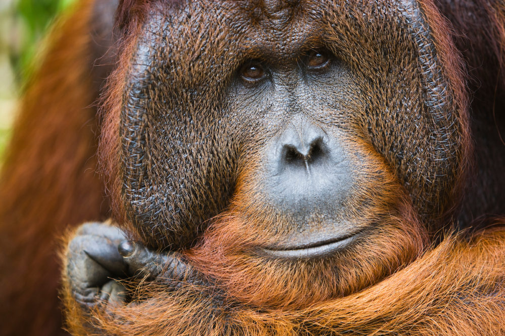 Jami documenting a new orangutan species