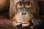 Jami's quest to save the orangutans