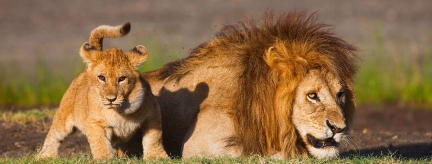 Tanzania, Ngorongoro Conservation Area, Ndutu, male lion with cub