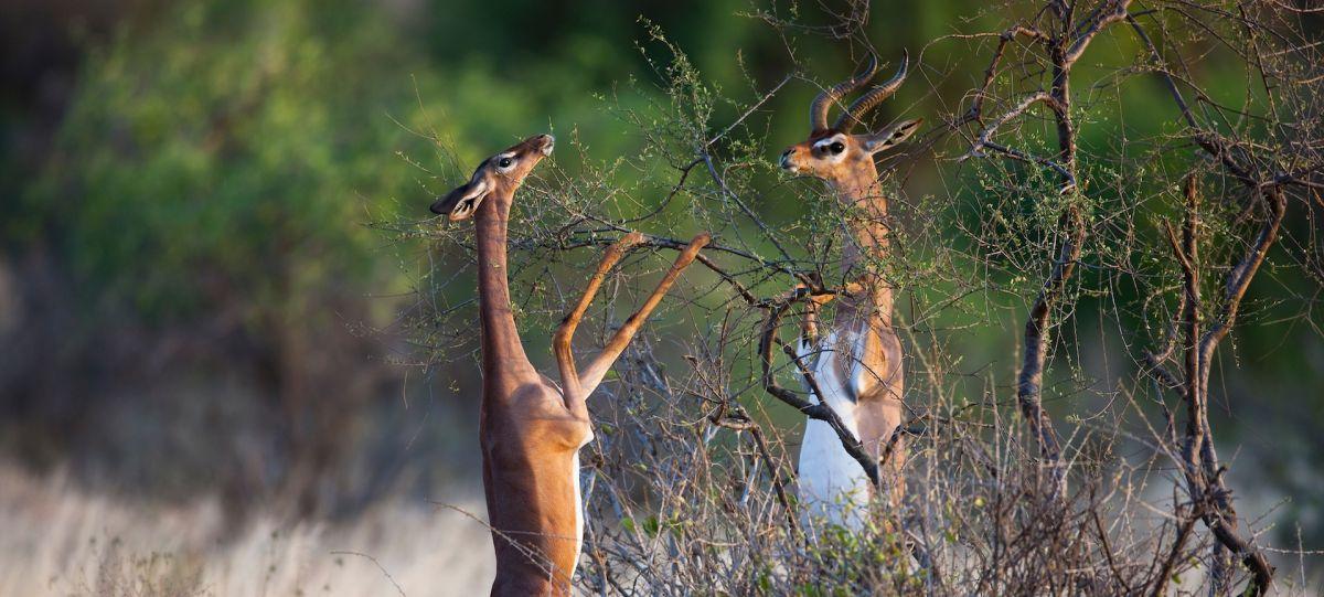 Kenya, Samburu, gerenuks (Litocranius walleri)