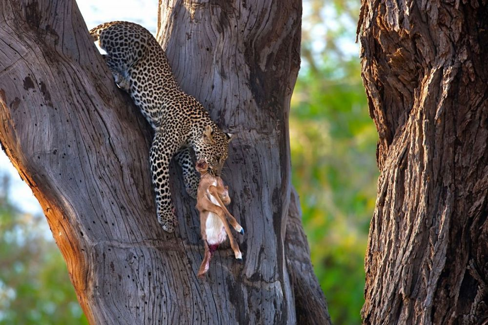 Leopard carrying young impala down from tree