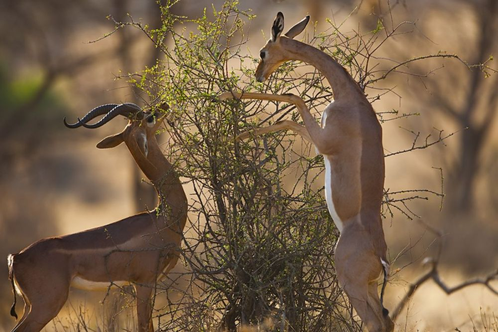 Gerenuks feeding on bush in Samburu