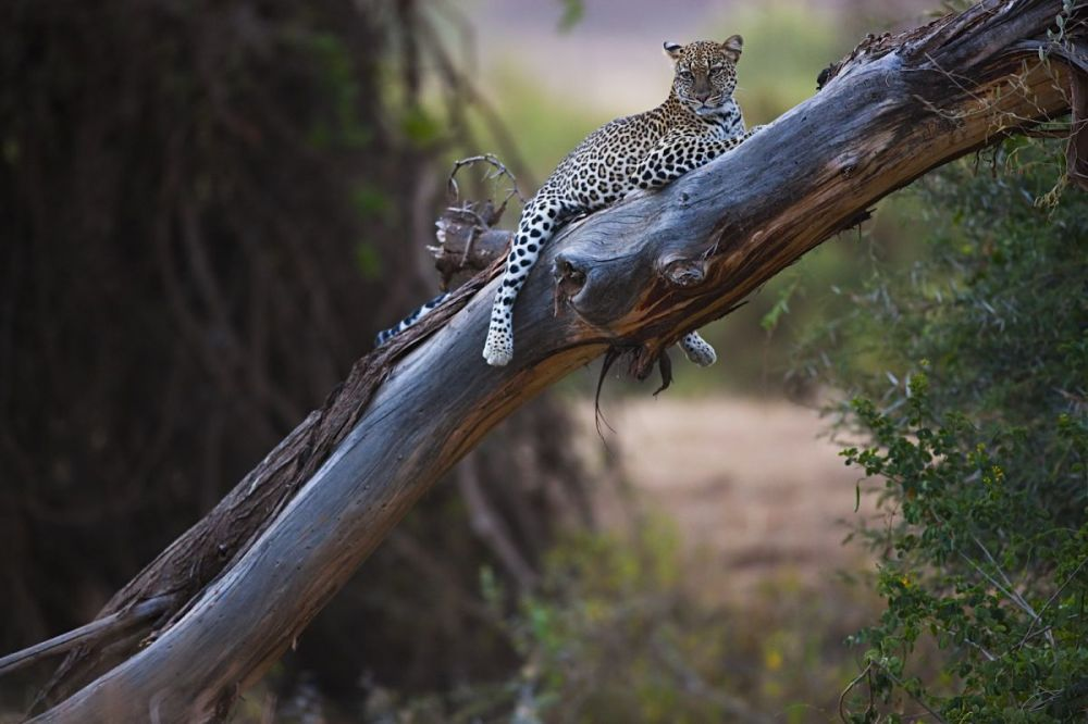 Leopard resting on tree trunk