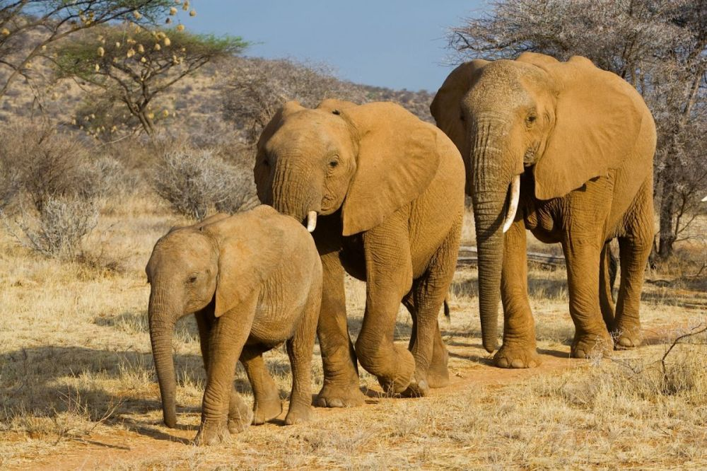 Elephant mother with her two calves in Samburu