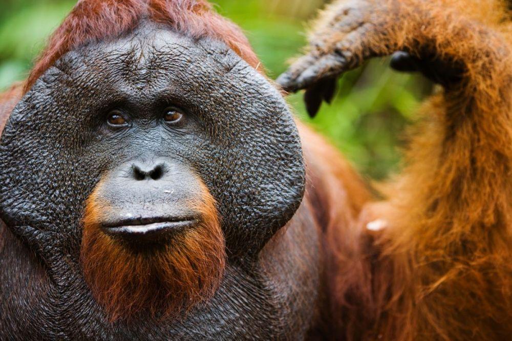 Male orangutan in Borneo Park