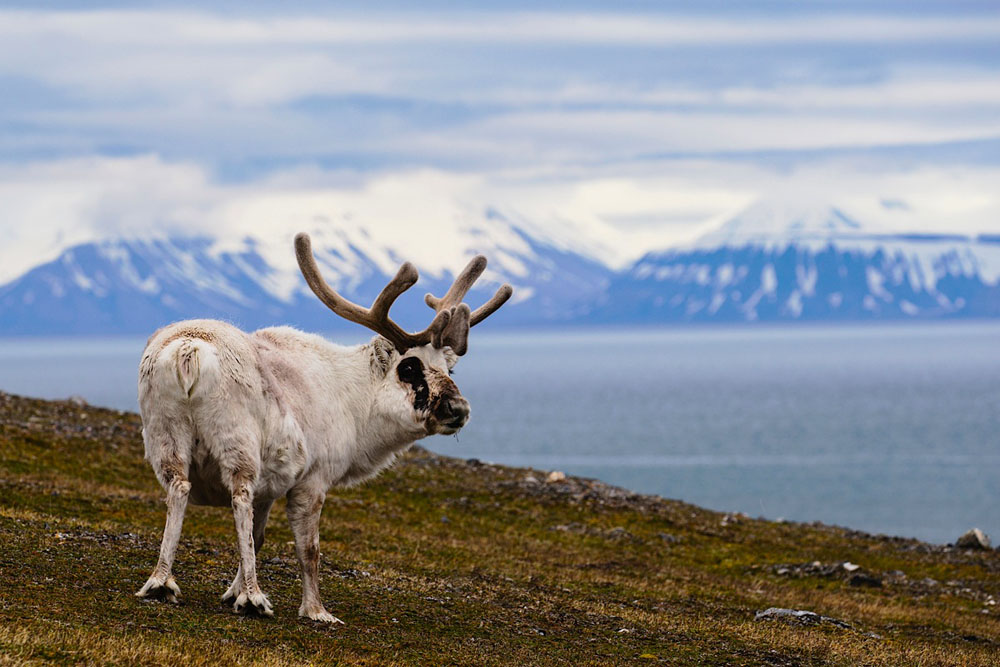 Portrait of a reindeer standng on the grassy tundra