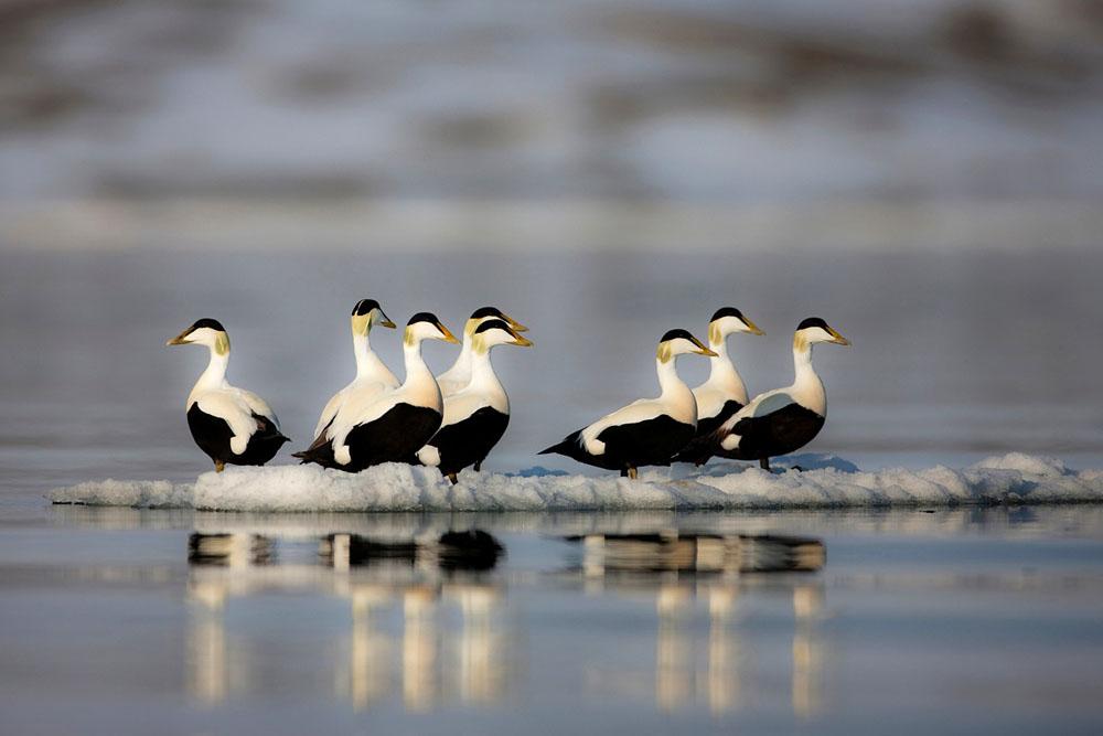 Common eider ducks (Somateria mollissima)