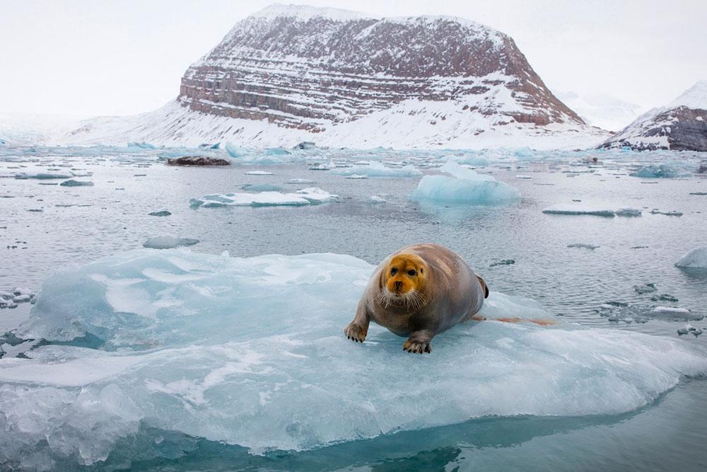 Bearded seal on ice floe