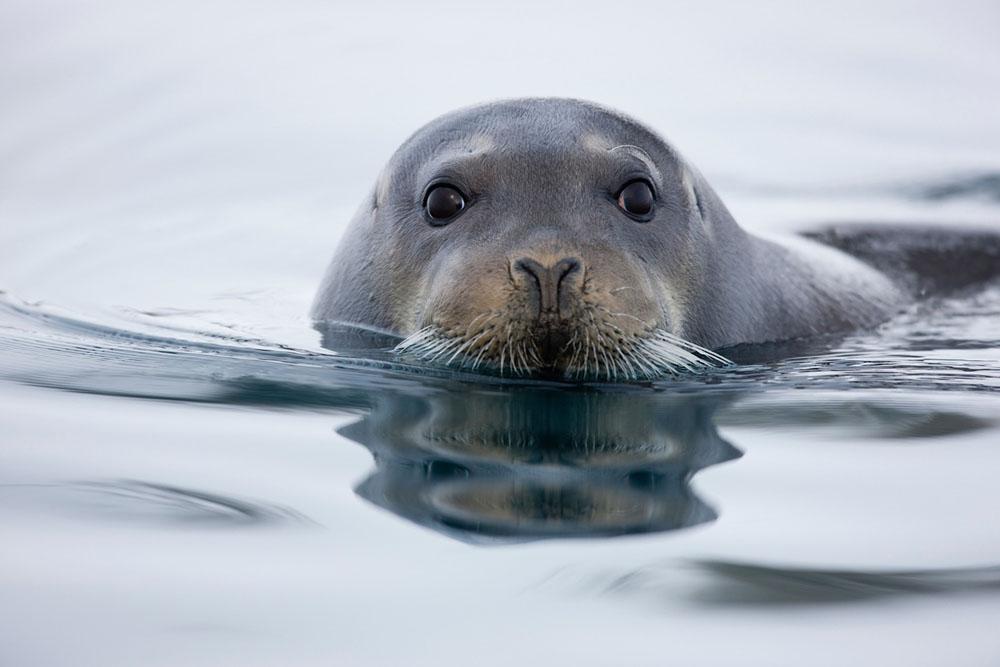 Bearded seal in water
