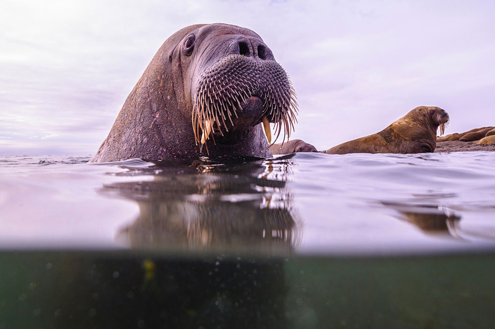 A close-up underwater split image of a walrus in the Arctic Ocean