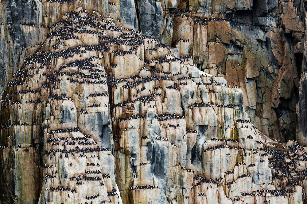 The cliffs ledges of Alkefjellet are home to breeding colonies of Arctic sea birds including Br¸nnich's guillemots and kittiwakes.