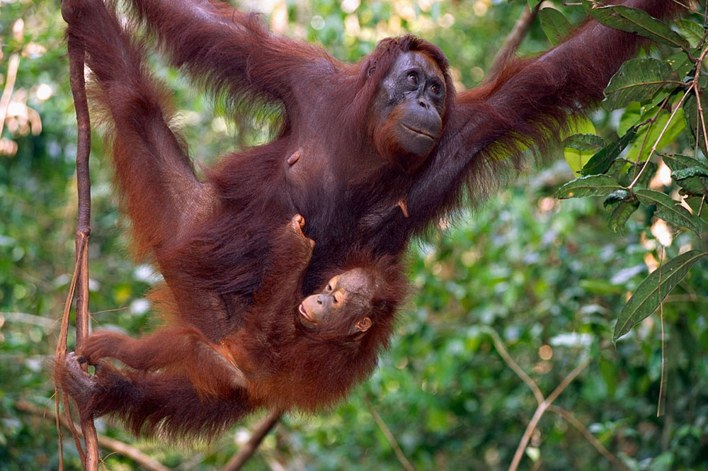 Mother Orangutan and Baby Hanging in a Tree