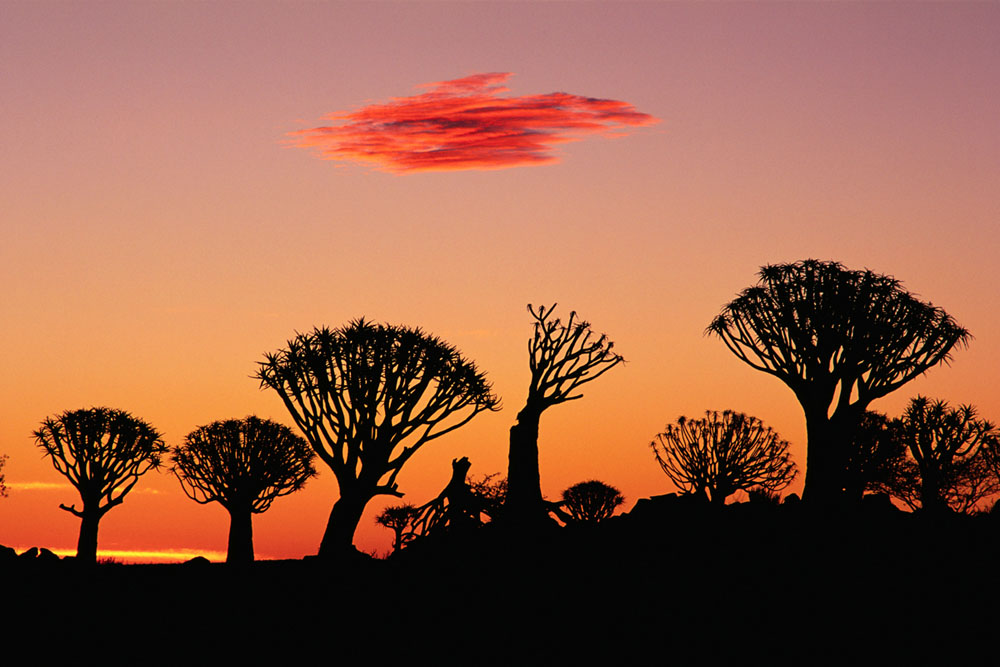 Quiver Tree Silhouettes at Sunset