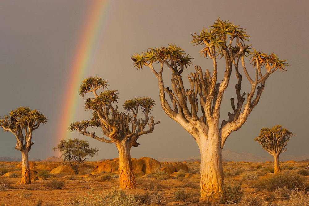Quiver trees with rainbow