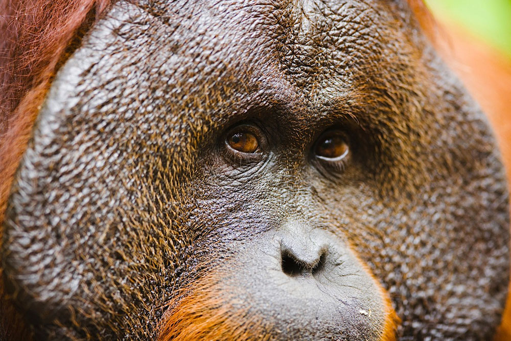 Dominant male orangutan