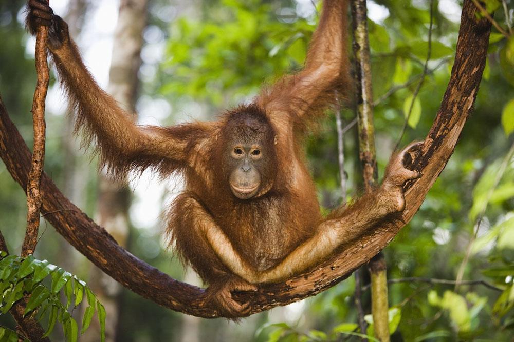 Young orangutan climbing