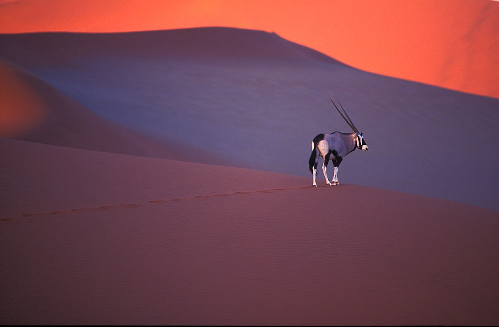 Oryx antelope on sand dune