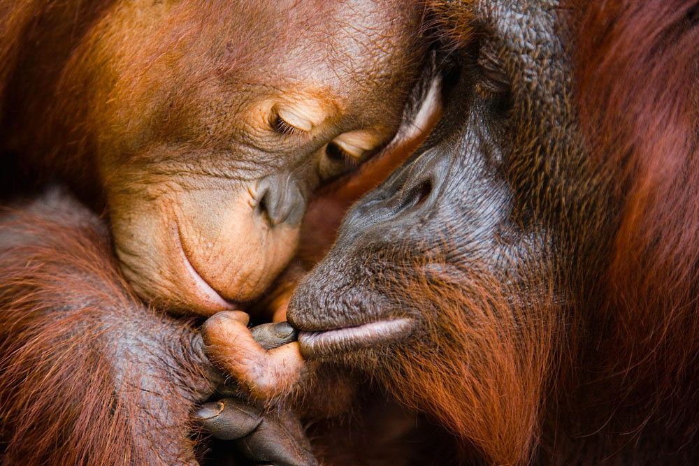 A sweet moment between an infant orangutan and his mother