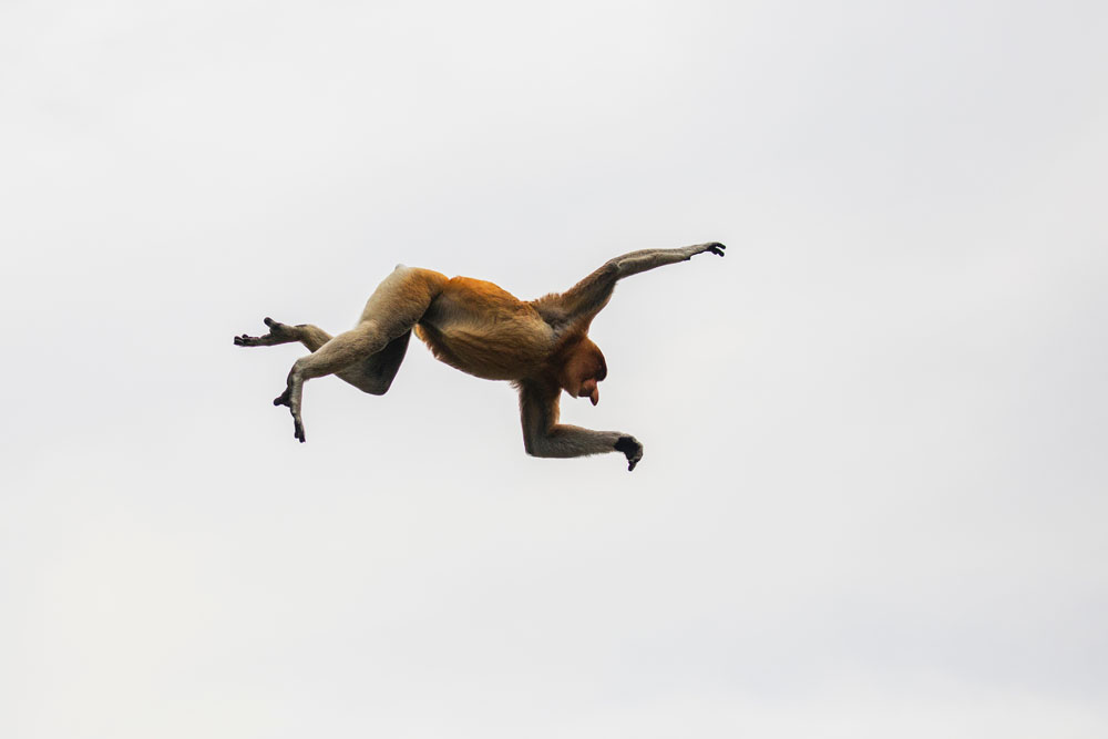 A proboscis monkey in mid-air, underneath view
