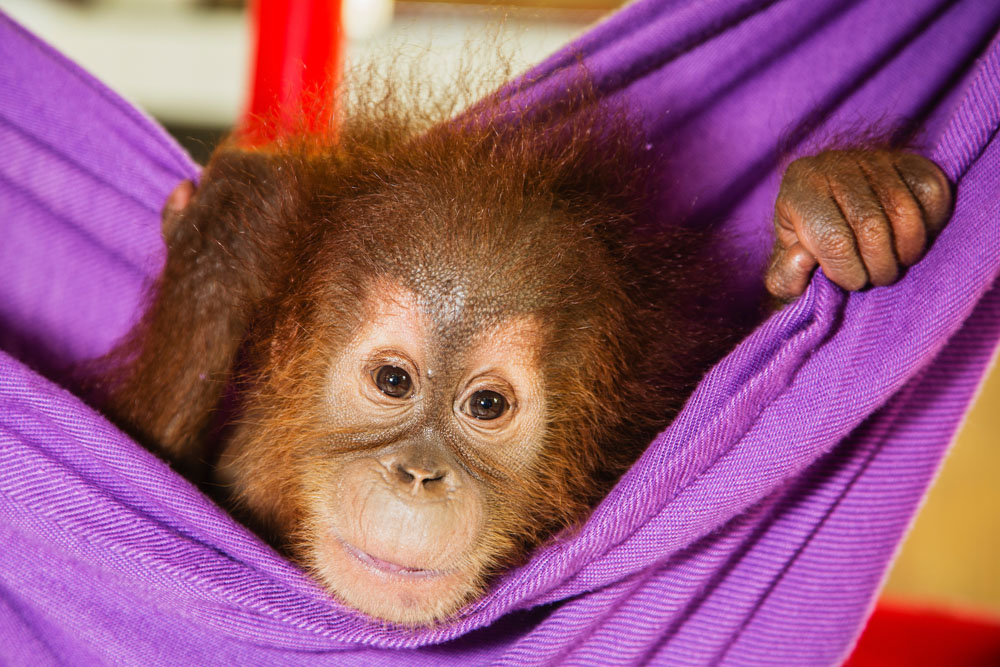 As a victim of the illegal pet trade, a young orangutan is cage bound but safe and well taken care of at the Sumatran Orangutan Conservation Program's Care Center.