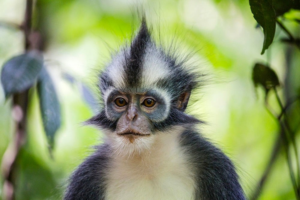A front-view of a Thomas Leaf-monkey