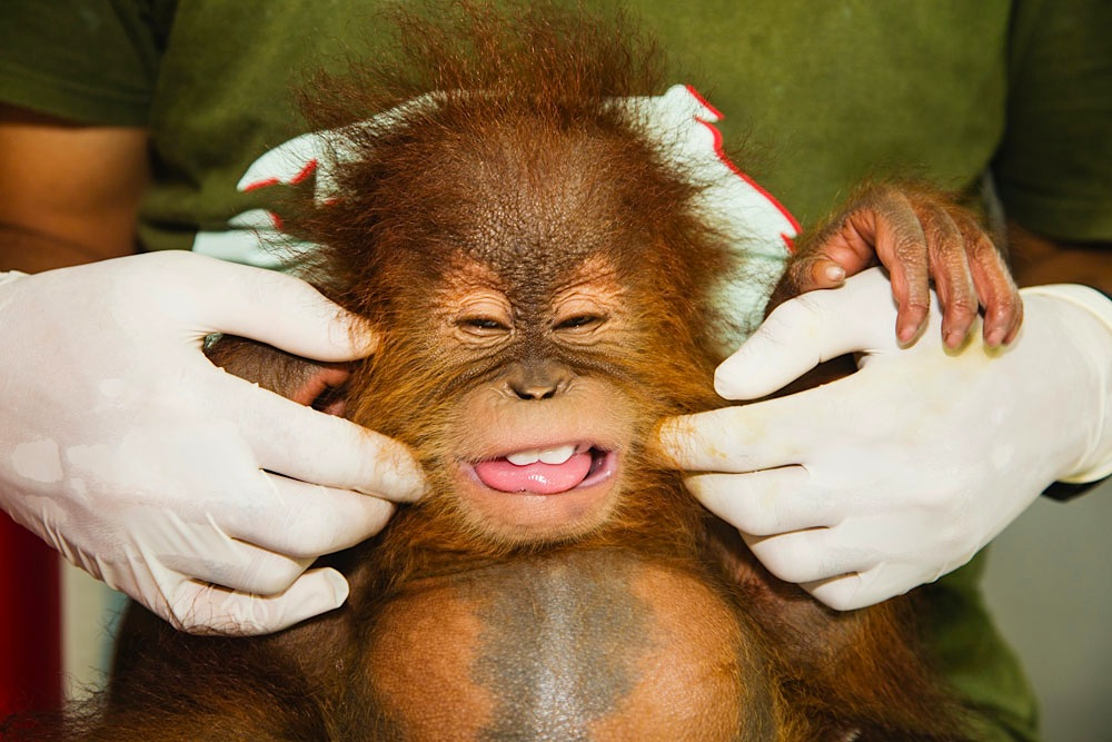 As a victim of the illegal pet trade, a baby orangutan is rescued, safe and well taken care of at the Sumatran Orangutan Conservation Program's Care Center.