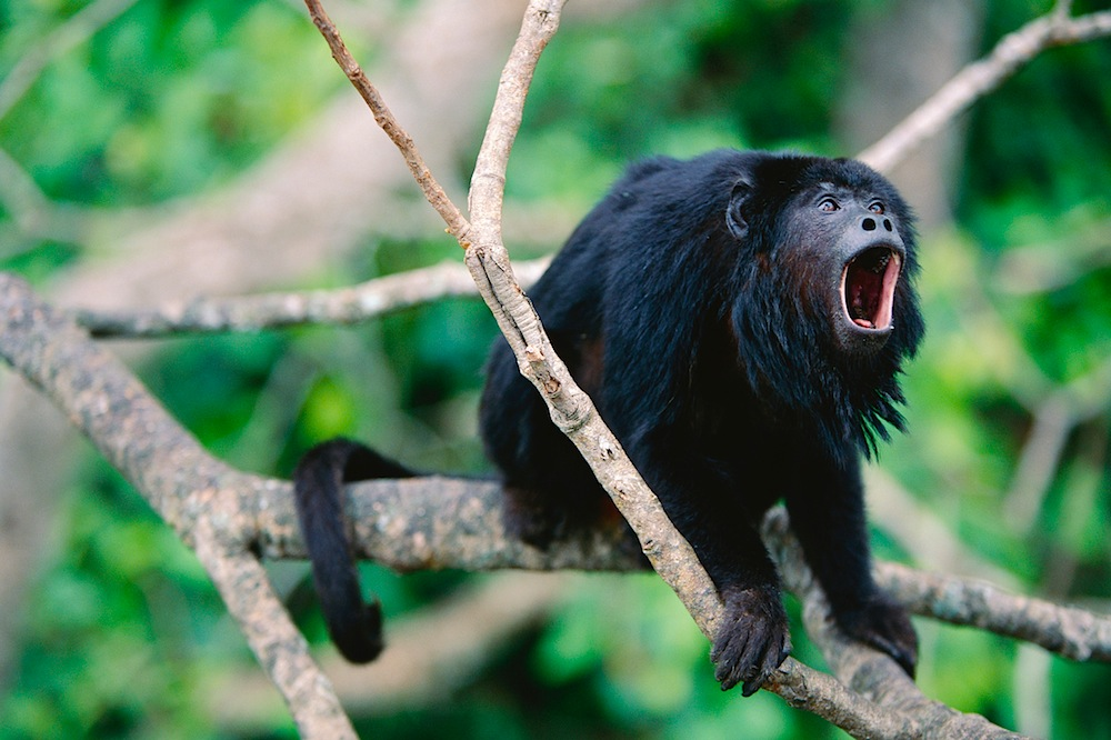 Male Black Howler Monkey in Tree