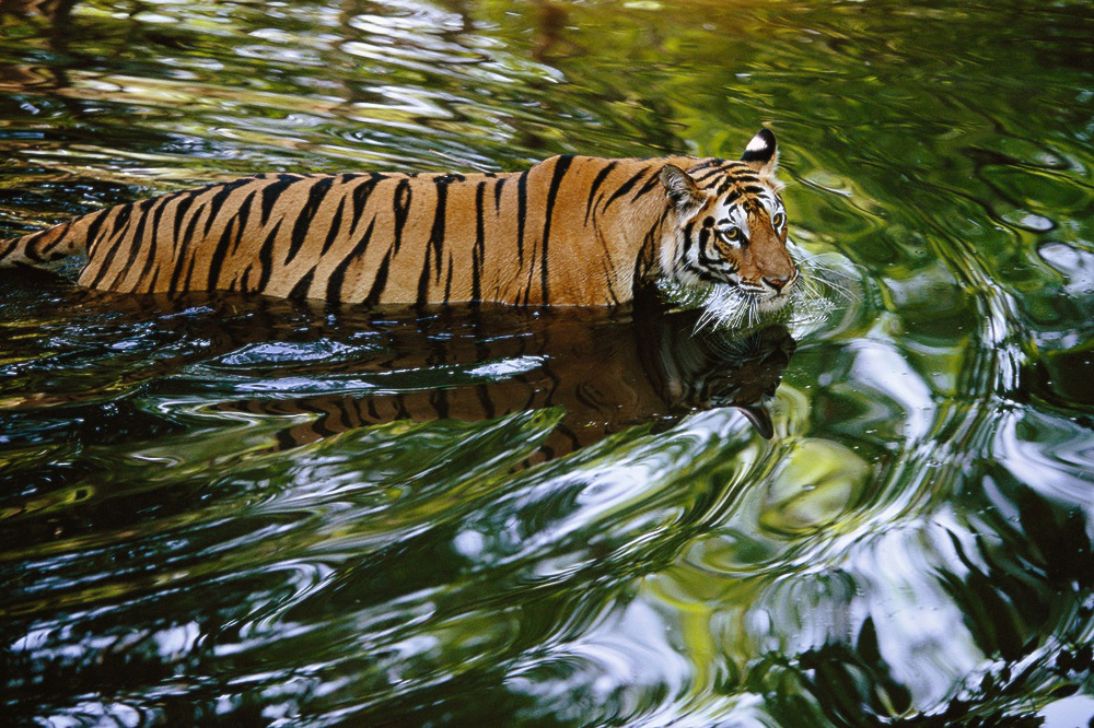 Tigress Wading Across Creek in India