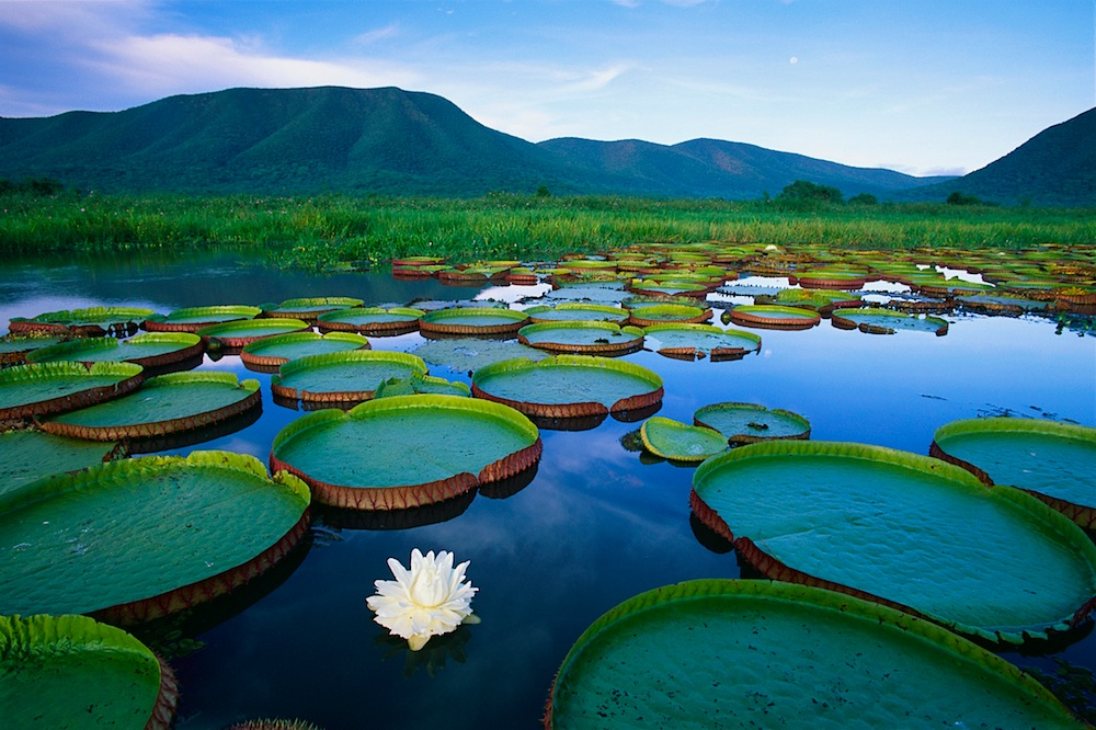 Royal Water-Lilies in the Pantanal