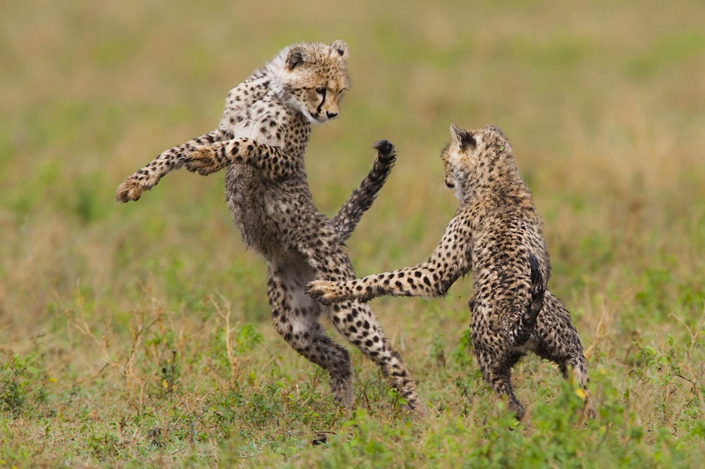 Cheetah cubs playing, Ndutu, Ngorongoro Conservation Area