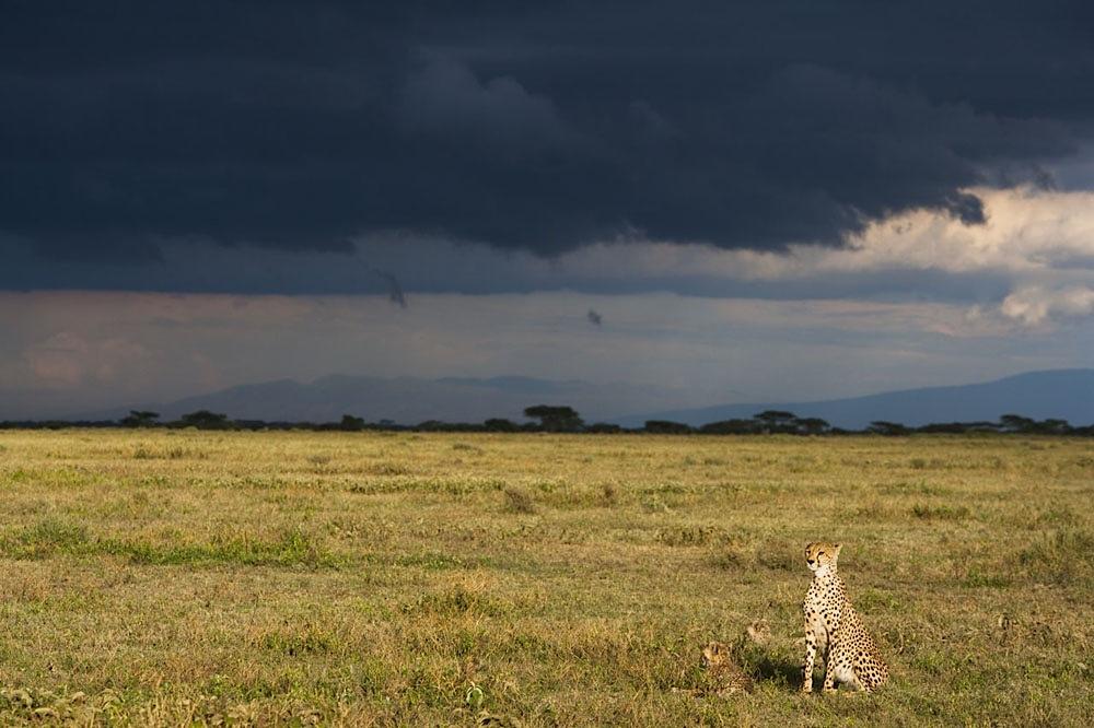 Cheetah in savanna under a thunderstorm sky, Ndutu, Ngorongoro Conservation Area
