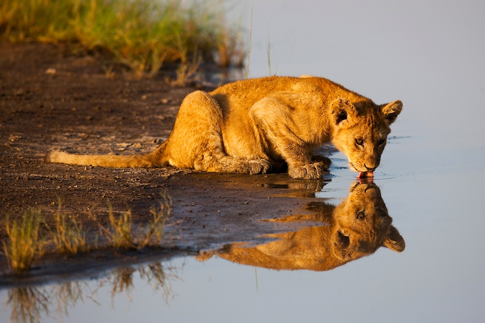 Lion cub drinking at waterhole, Ngorongoro Conservation Area, Ndutu