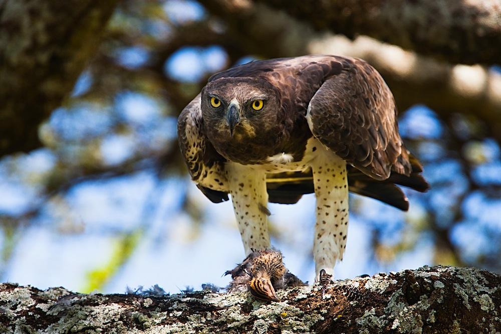 Martial eagle with dead guinea fowl chick, Serengeti