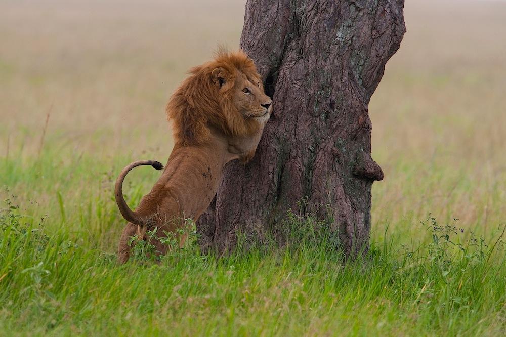 Male lion trying to climb tree, Ngorongoro Conservation Area, Ndutu