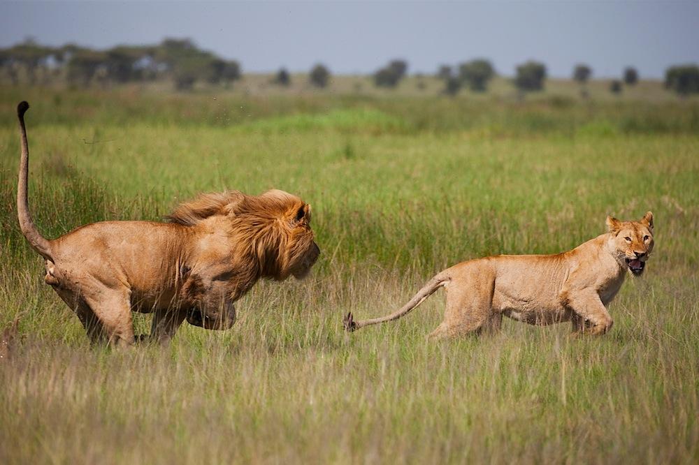 Male lion chasing lioness, Ngorongoro Conservation Area, Ndutu