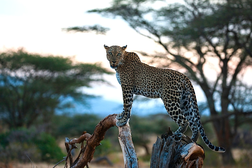 Kenya, Samburu, leopard in tree