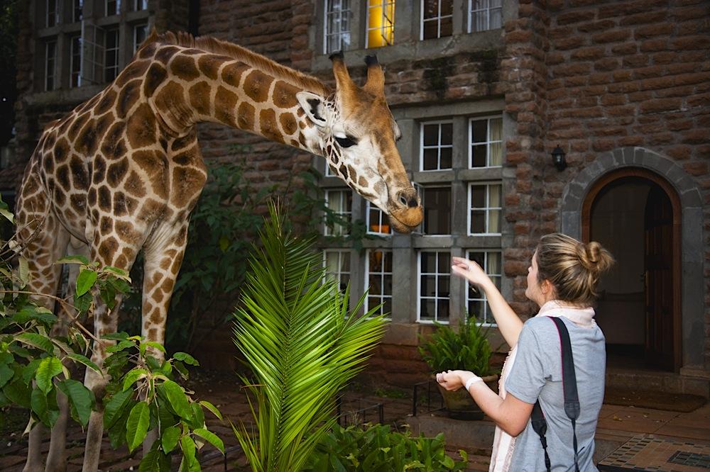 Kenya, Nairobi, Giraffe Manor; hotel guest feeding Rothschild giraffe