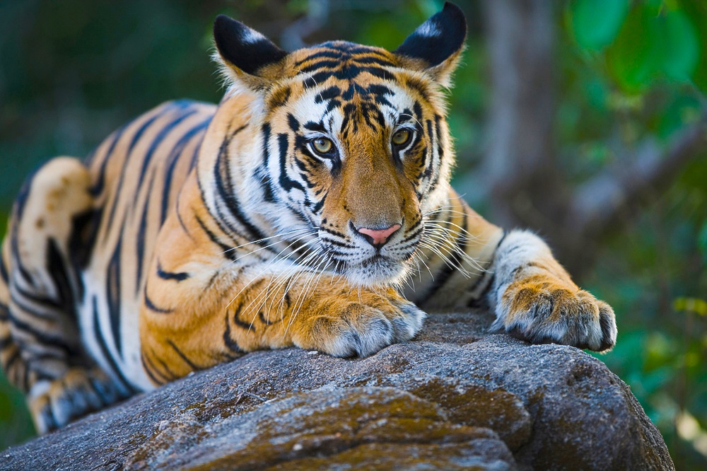 17 months old Bengal tiger cub lying on rock