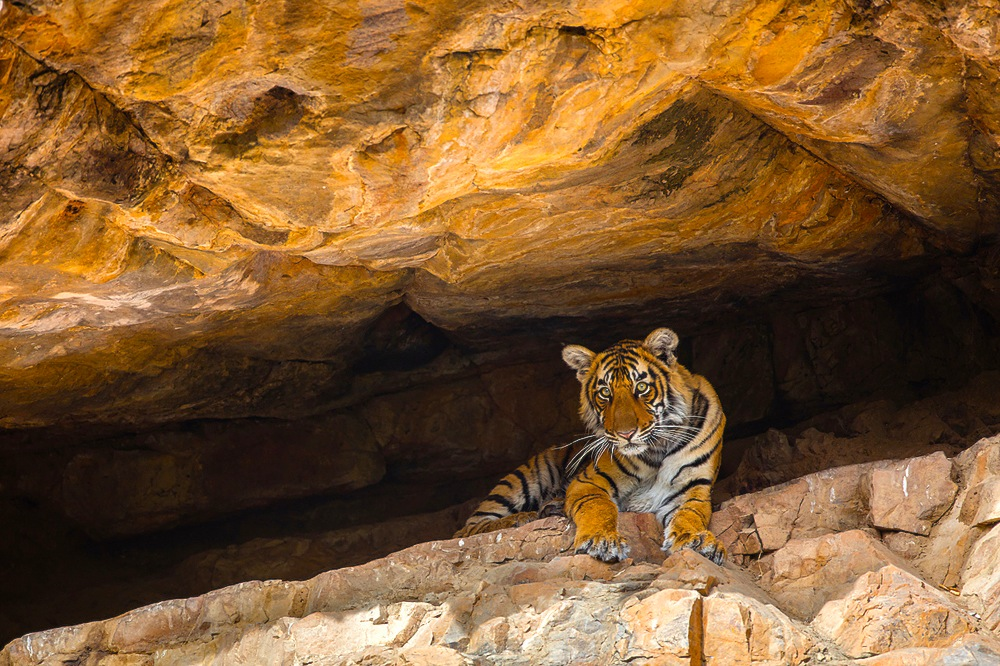 Bengal tiger cub in cave