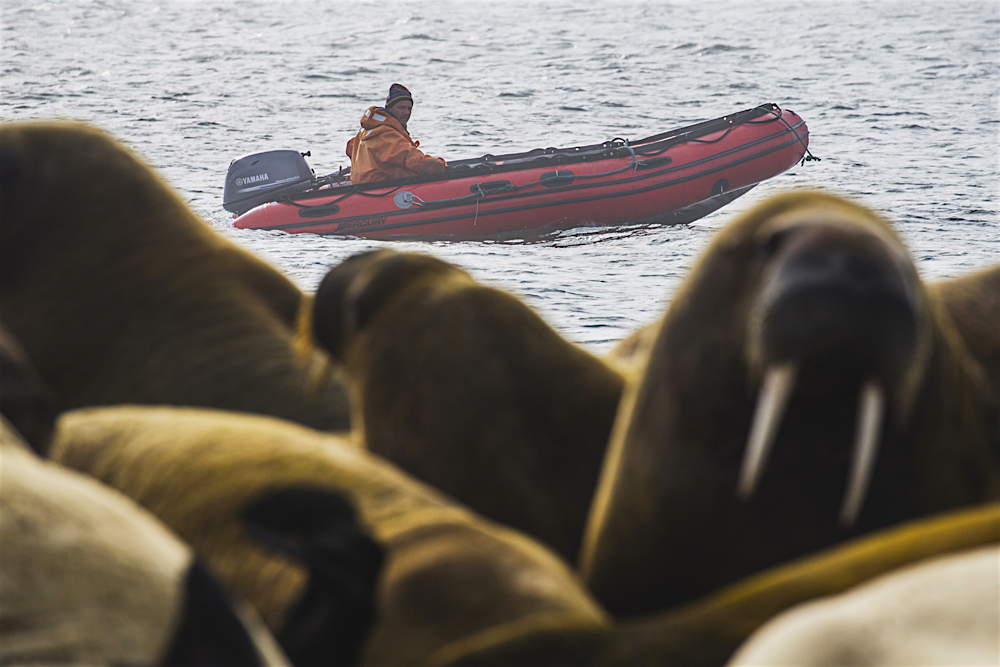 A zodiac drives behind a large colony of walruses on shore.