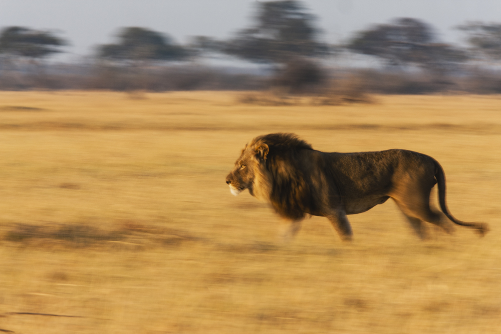 A portrait of a mature male lion moving in the grassland at sunset,motion-blur