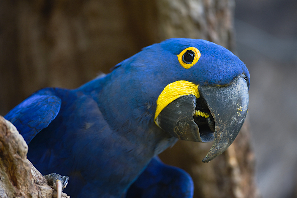 A hyacinth macaw squawks from his nest.