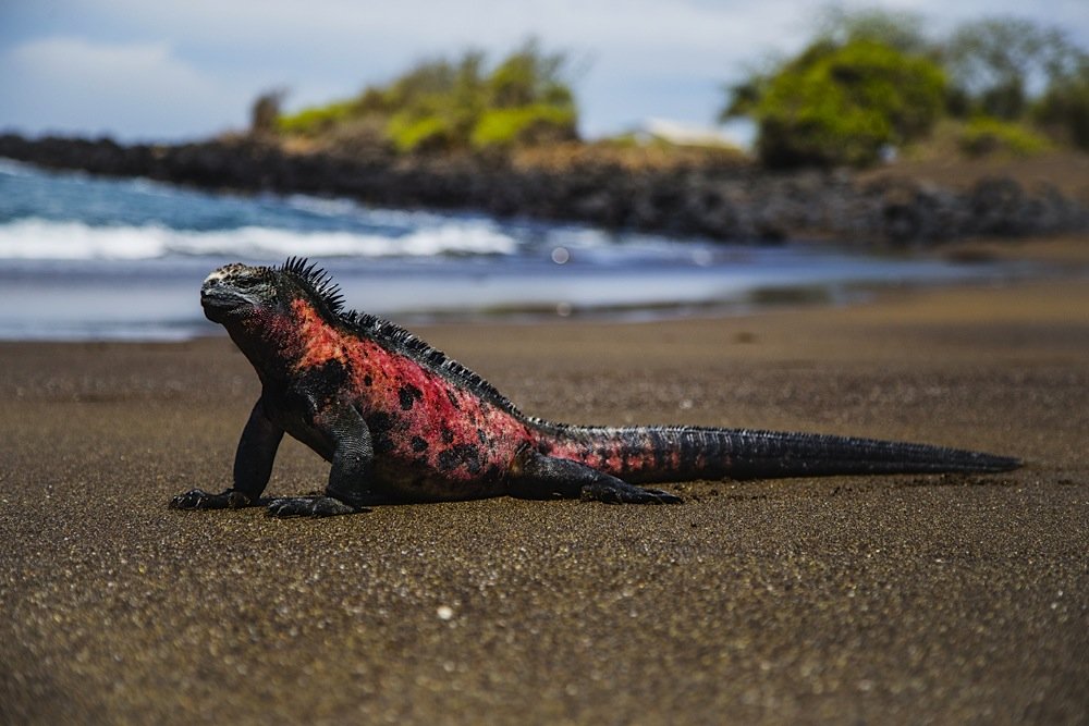 A marine Iguana sitting upright on a black sand beach