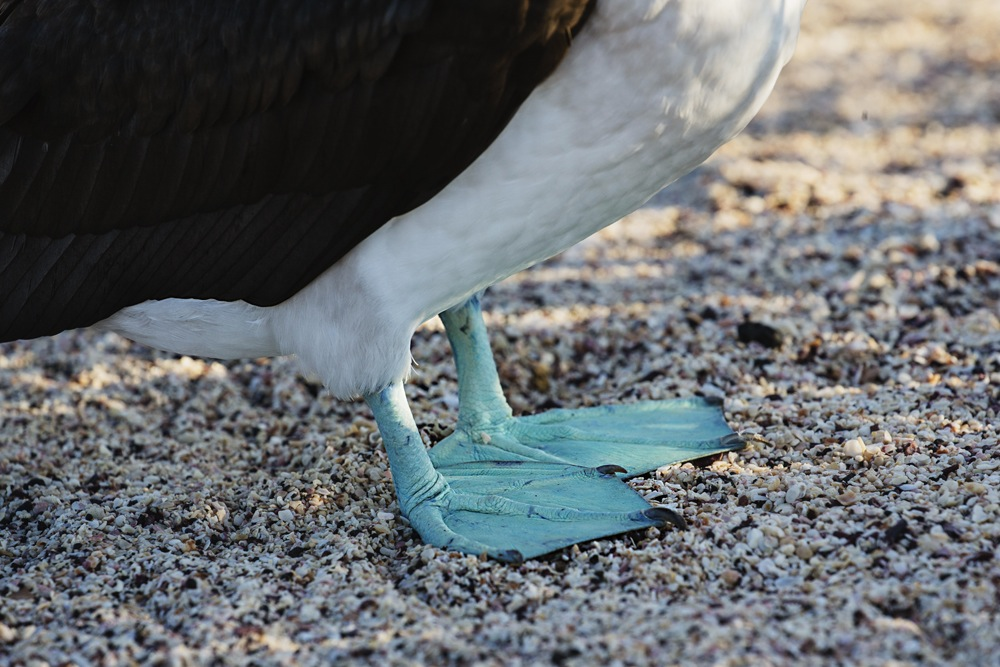 Bright blue feet stand out on a blue-footed booby