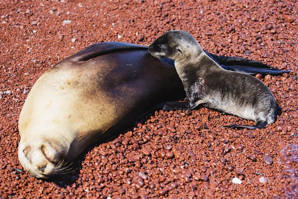 A sea lion pup suckling from its mother