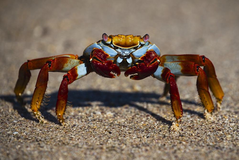 Close-up of Sally lightfoot crab