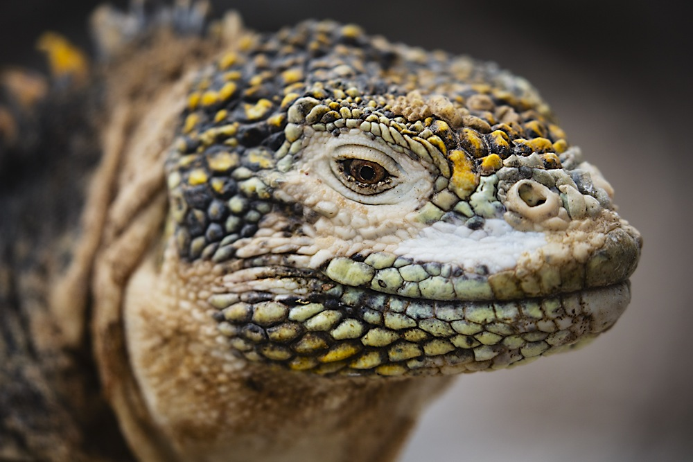 A close-up of a Galapagos land iguana