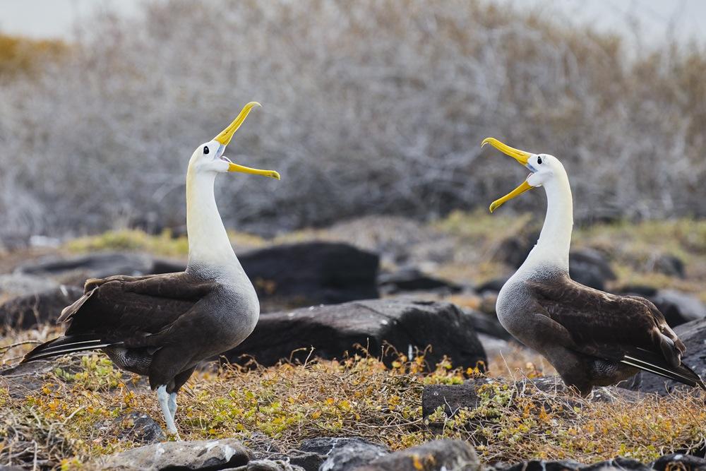 Courtship behavior of Waved Albatross